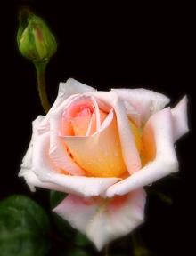 Trandafirul şi femeia săracă